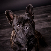 Hundeshooting Französische Bulldogge